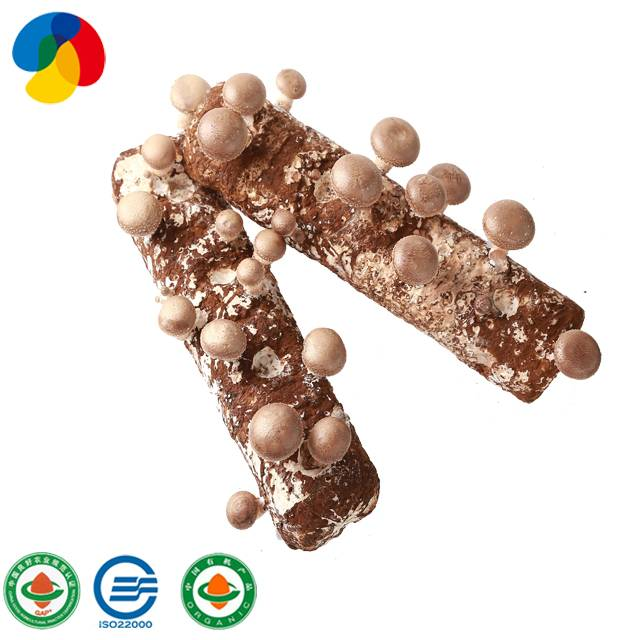 HACCP Certified Qihe No.7 shiitake mushroom spawn bag for export Featured Image