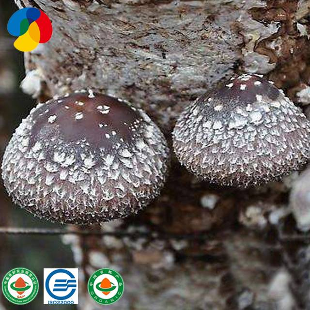 Professional ChinaOyster Mushroom Sustrate - Natural Organic Sawdust Mushroom Spawn easy cultivate shiitake – Qihe