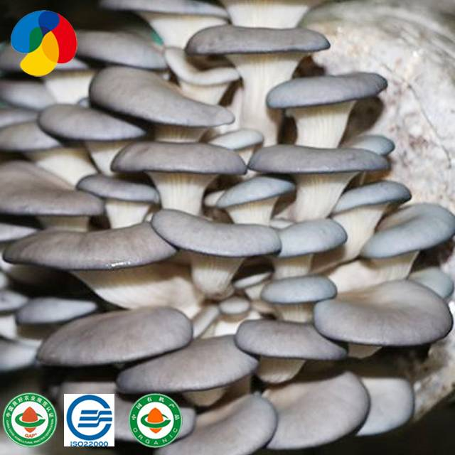 Factory Cheap Hot Mushroom Spawn Cultivation - Qihe mushroom product oyster mushroom spores plugs for sale – Qihe detail pictures
