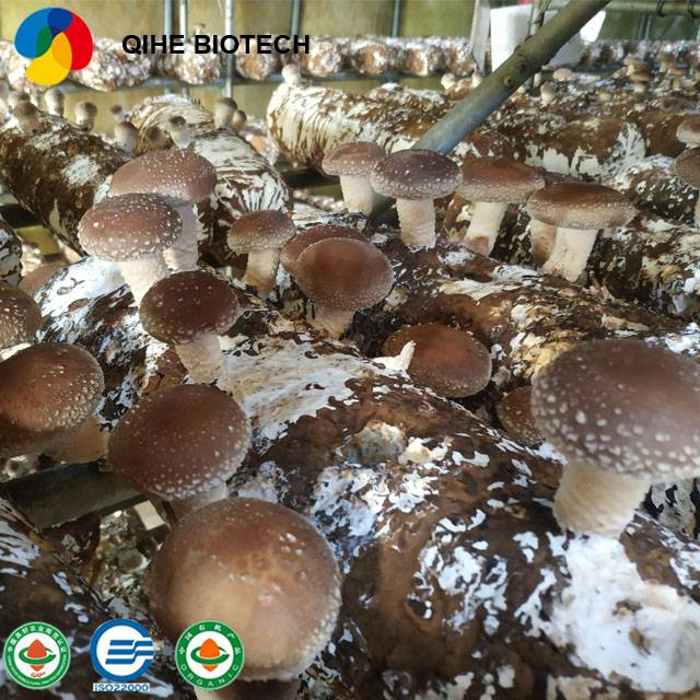 Factory wholesale Logs For Grow Shiitake - Organic Shiitake Mushroom Growing bag mushroom spawn bags with high quality – Qihe detail pictures