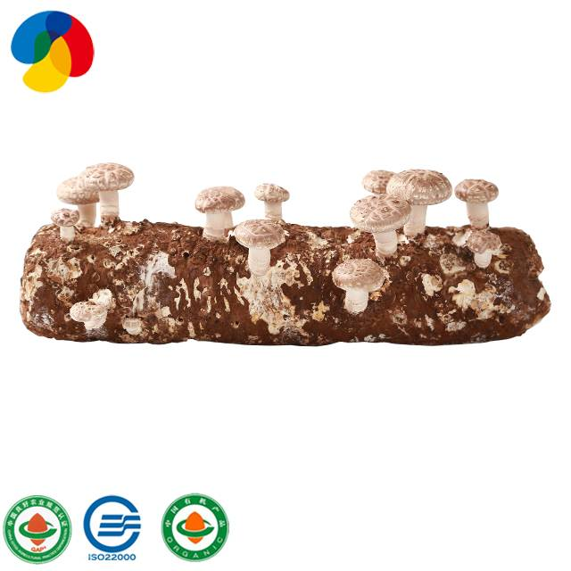 Factory Supply qihe shiitake mushroom spawn