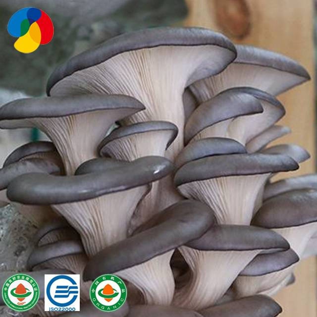 Top Grade Grey Oyster Mushroom Spores Spawn Grow Bags Featured Image