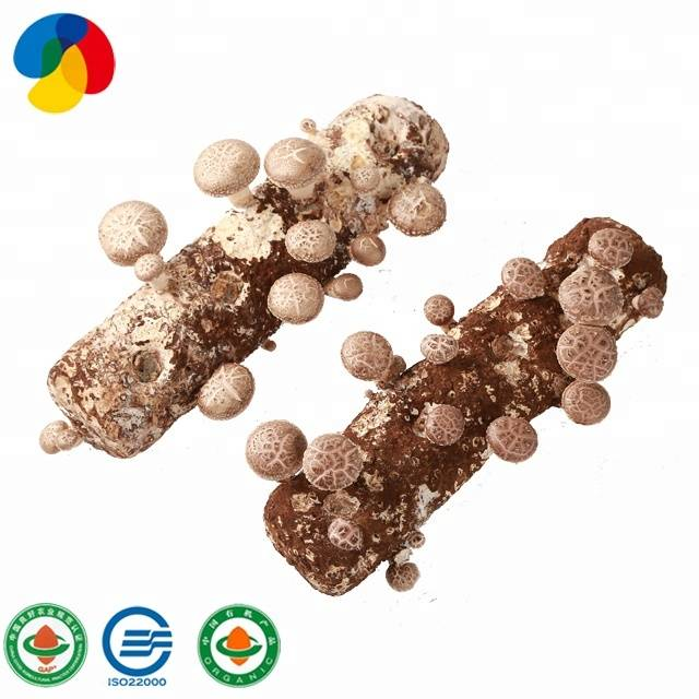 GAP Certificated Stable And High Yield Shiitake Mushroom Spawn