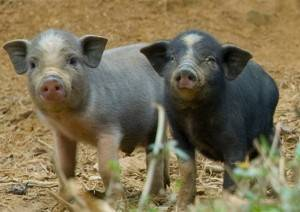 Precautions About African Swine Fever