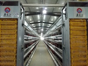 Best quality low cost chicken farm poultry farm chicken eggs poultry farm equipment