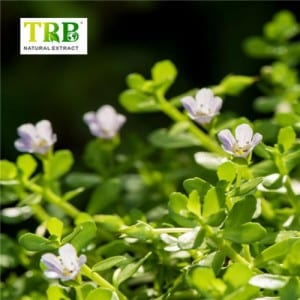 High Quality for Bacopa Monnieri Extract In Stock