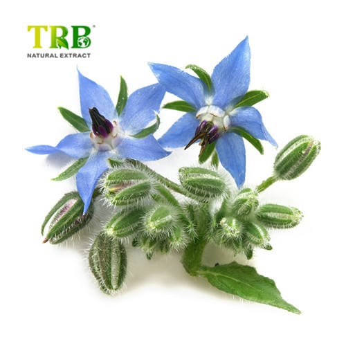 Borage Oil Featured Image