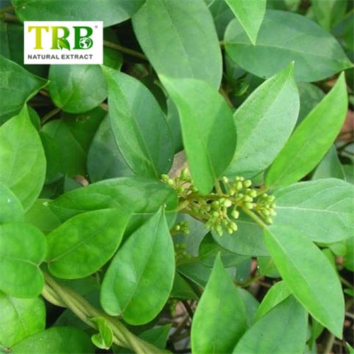 Wholesale Price China Glucomannan Konjac - Gymnema Sylvestre Extract – Tong Rui Bio Featured Image
