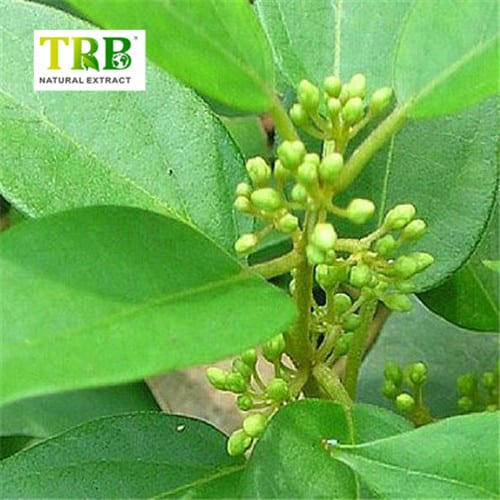 Wholesale Price China Glucomannan Konjac - Gymnema Sylvestre Extract – Tong Rui Bio detail pictures