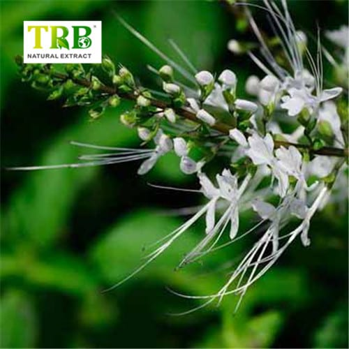 2019 High quality Black Cohosh Liquid Extract - Orthosiphon Extract/Java Tea Extract – Tong Rui Bio