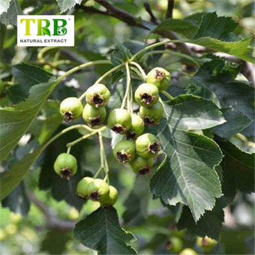 China Gold Supplier for Raspberry Extract Baking - Hawthorn Leaf Extract – Tong Rui Bio