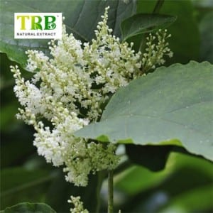 Extract knotweed Buta