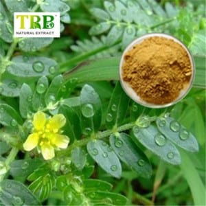 Extract Tribulus Terrestris