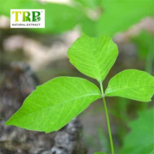 Ivy Extract Featured Image