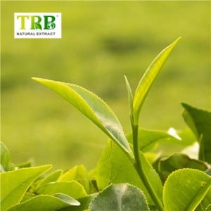 100% Original China Tea Polyphenol 98% Green Tea Extract Powder