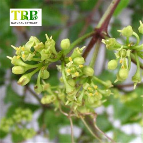 Cissus Quadrangularis Extract Featured Image
