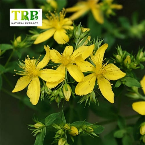 St.John's Wort Extract Featured Image