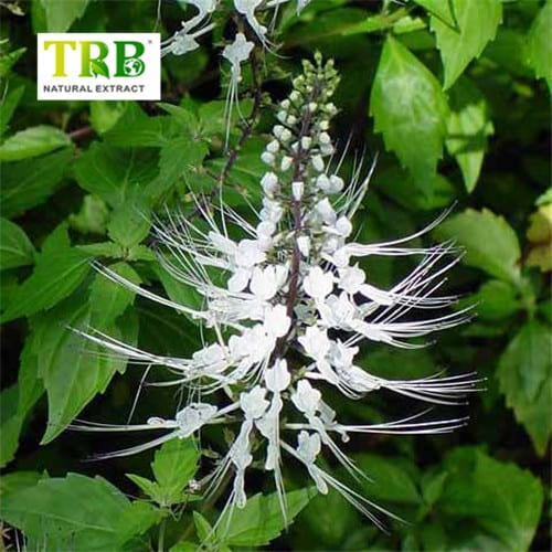 2019 High quality Black Cohosh Liquid Extract - Orthosiphon Extract/Java Tea Extract – Tong Rui Bio Featured Image